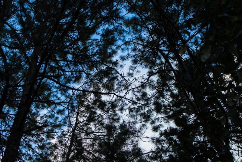 Modelo del árbol de pino en bosque y puesta del sol de la naturaleza Rama de la silueta imagen de archivo