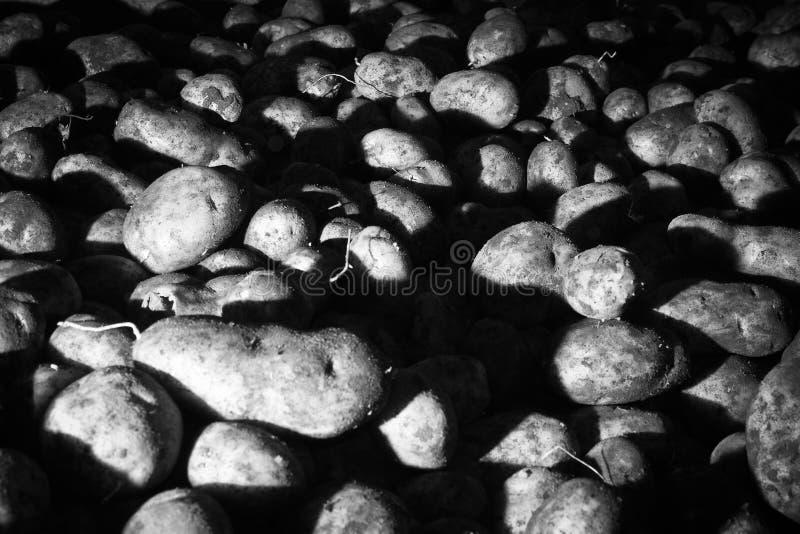 Modelo Del Alimento De Los Vehículos Sin Procesar De Las Patatas Imagen de archivo