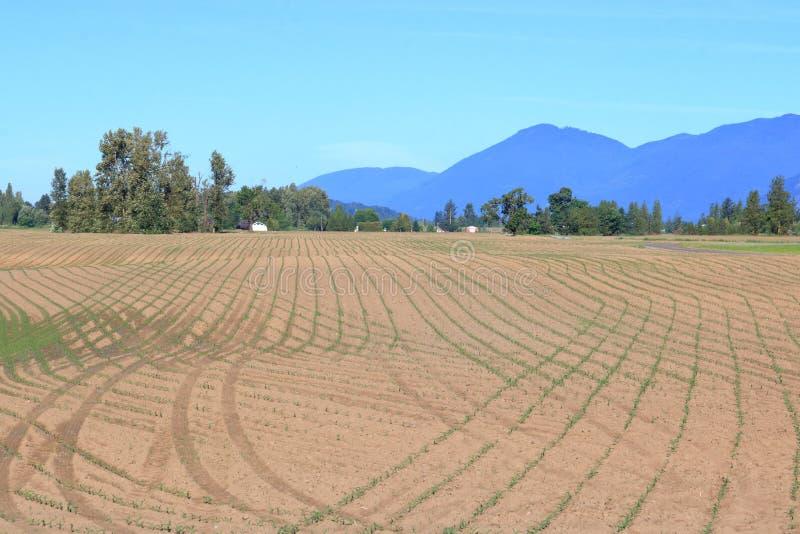 Modelo del campo de maíz en comienzo de la primavera fotos de archivo libres de regalías