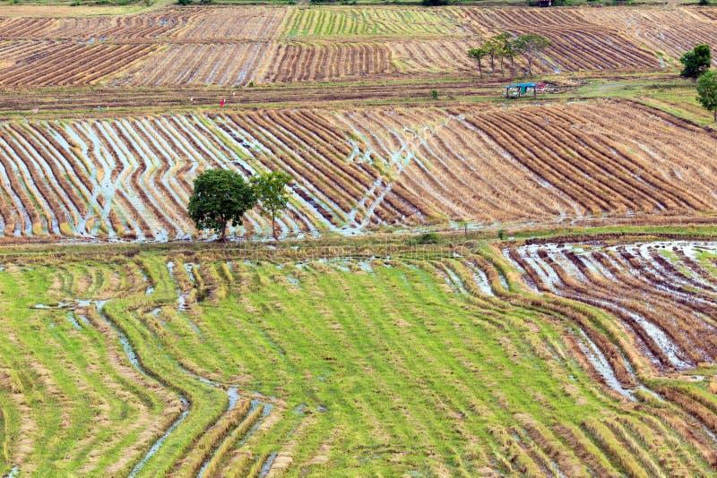 Modelo del campo del arroz imágenes de archivo libres de regalías