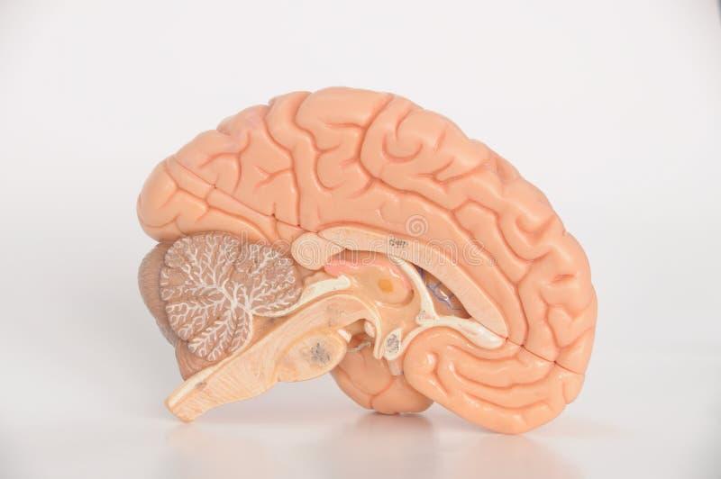Modelo del cerebro foto de archivo
