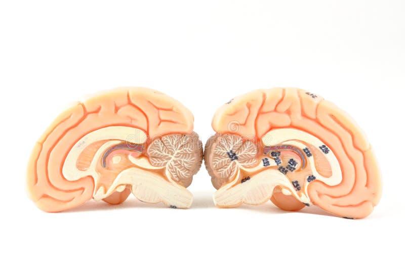 Modelo del cerebro humano imagen de archivo libre de regalías