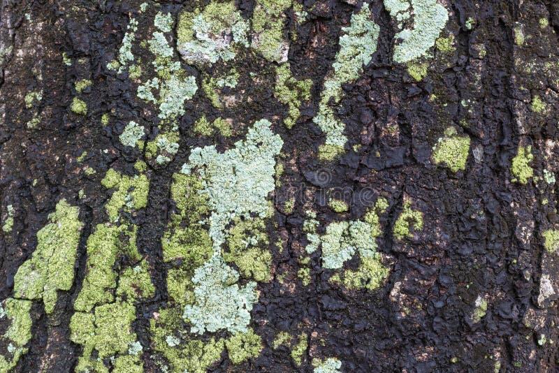 Fondo de la textura de la corteza de árbol fotografía de archivo