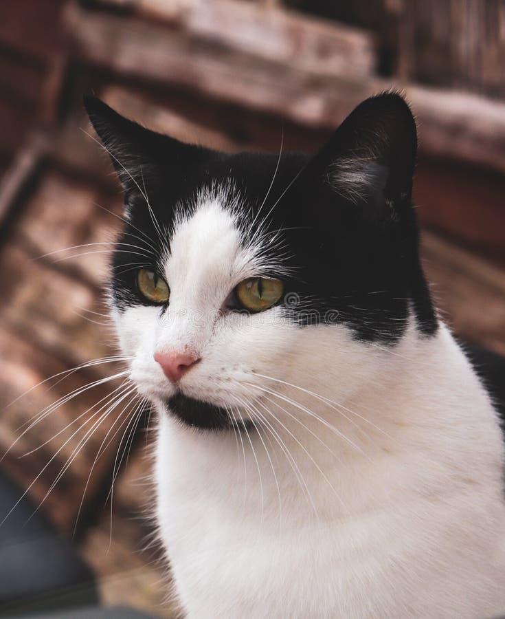 Modelo del gato de Wilde el mejor imagen de archivo