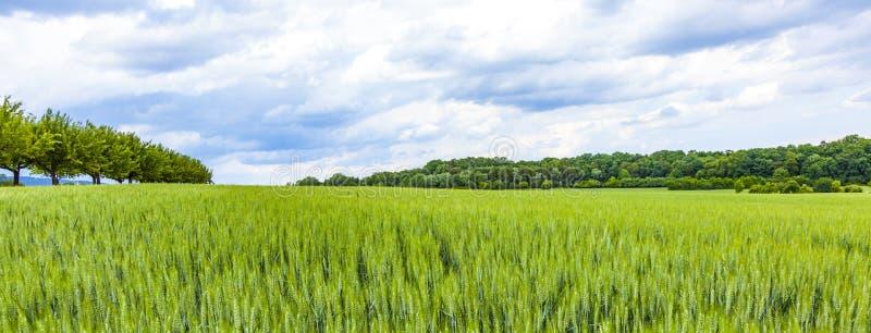 modelo del grano verde en grainfield foto de archivo