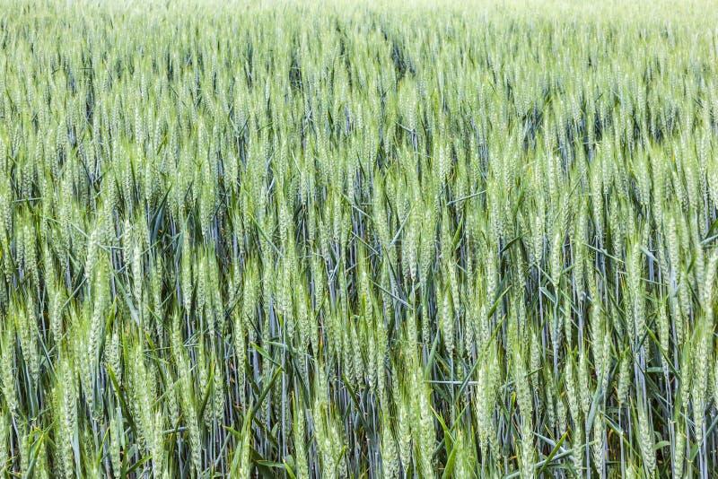 modelo del grano verde en grainfield fotos de archivo