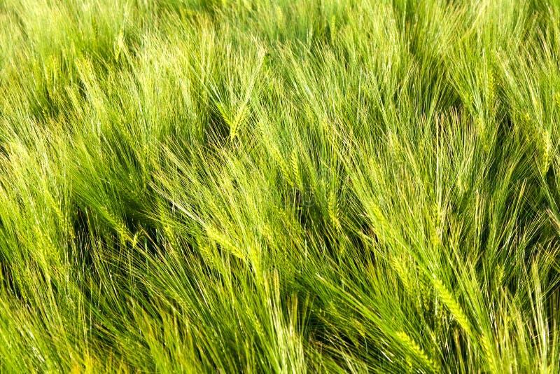 Modelo del maíz verde imagen de archivo libre de regalías