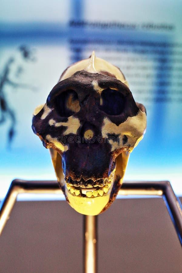 Modelo del molde del cráneo de Robustus del australopiteco fotografía de archivo libre de regalías