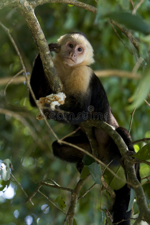 Modelo del mono fotografía de archivo