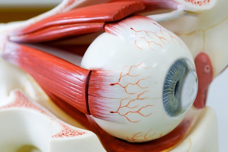 Modelo del ojo humano imágenes de archivo libres de regalías
