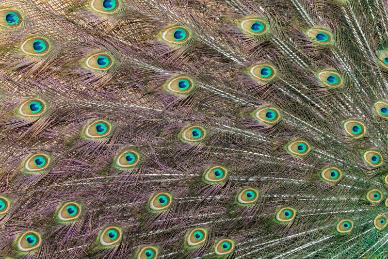 Modelo del plumaje adornado de la cola del pavo real con los eyespots coloridos imagen de archivo libre de regalías
