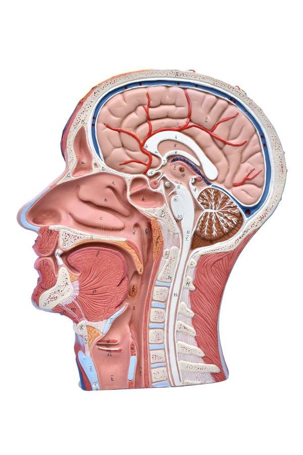 modelo del ser humano de la Mitad-cabeza foto de archivo