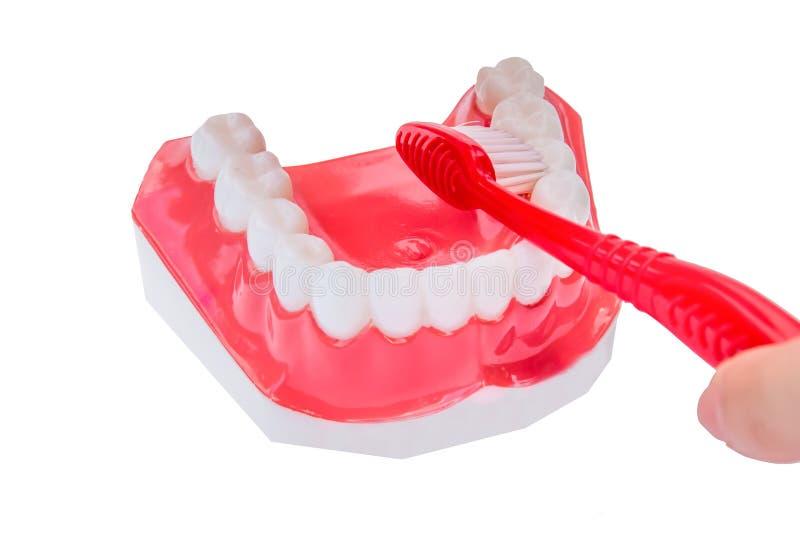 Modelo dental dos dentes fotos de stock
