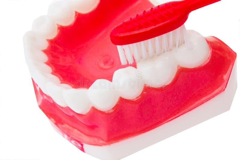Modelo dental dos dentes foto de stock