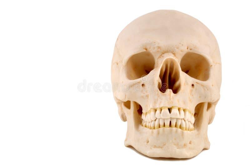 Modelo do crânio 1-Medical ilustração royalty free