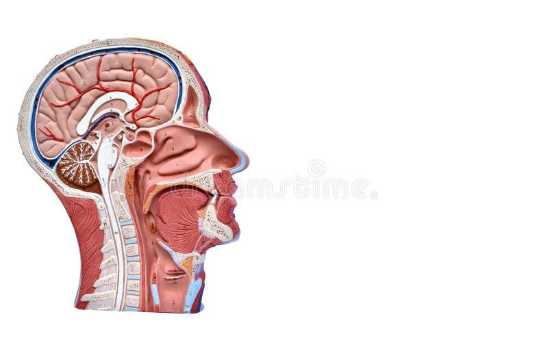 modelo do ser humano da Metade-cabeça imagens de stock royalty free
