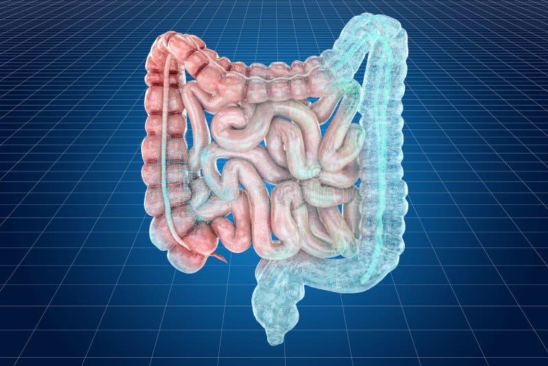 Modelo do visualização 3d cad das entranhas humanas, rendição 3D ilustração stock
