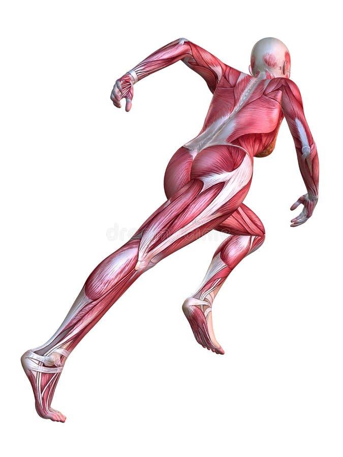 Modelo fêmea do músculo ilustração do vetor