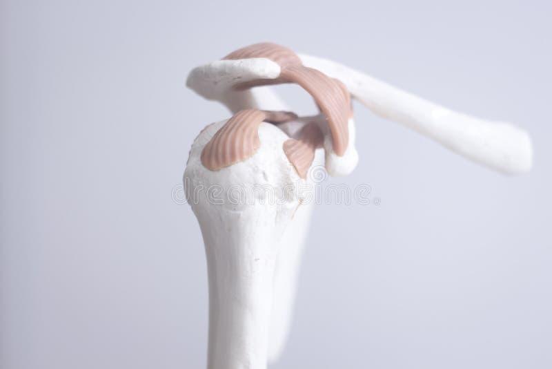 Modelo humano da articulação do úmero fotografia de stock