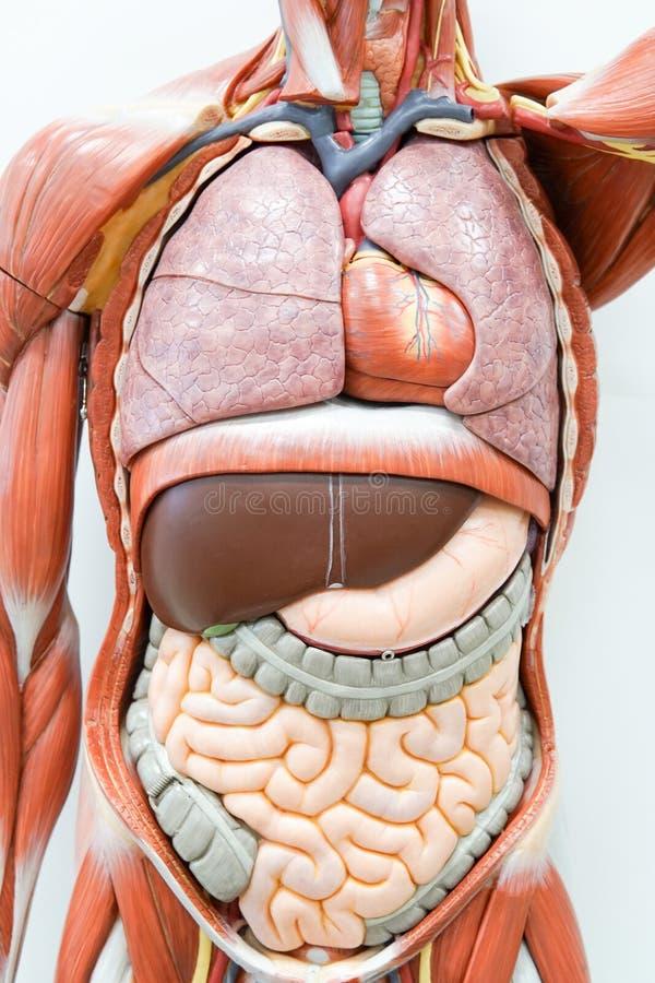 Modelo humano de la anatomía imagen de archivo