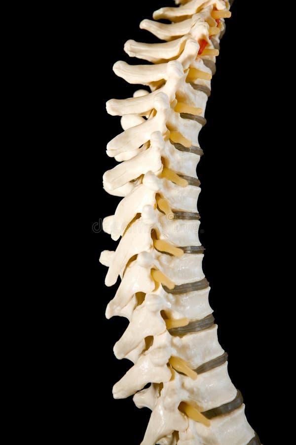 Modelo humano de la espina dorsal para entrenar fotos de archivo libres de regalías