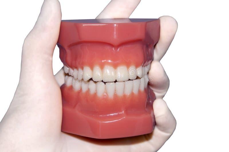 Modelo humano de los dientes aislado en blanco foto de archivo