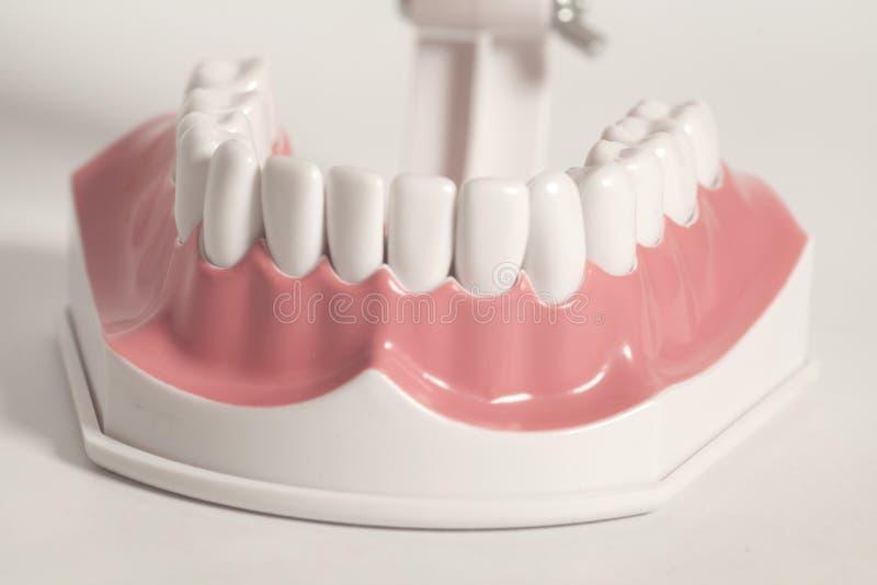 Modelo humano dental de los dientes imagenes de archivo