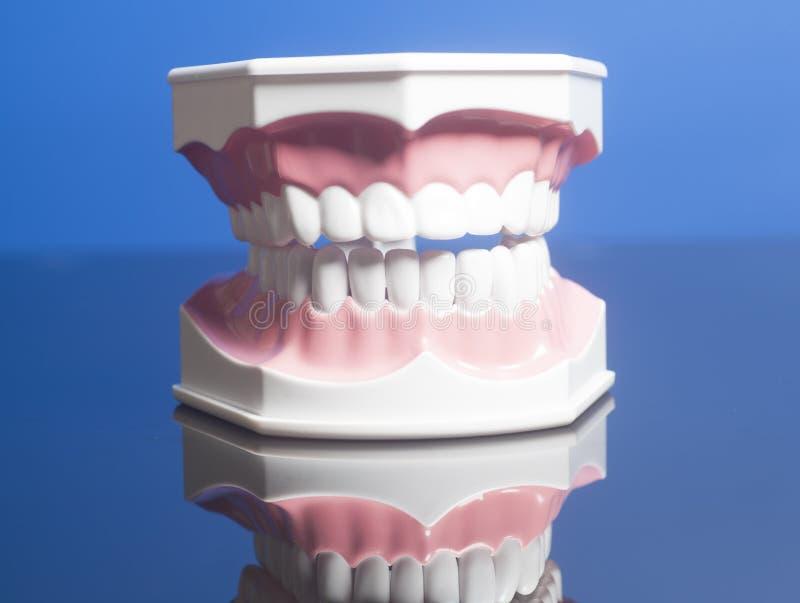 Modelo humano dental de los dientes imagen de archivo libre de regalías