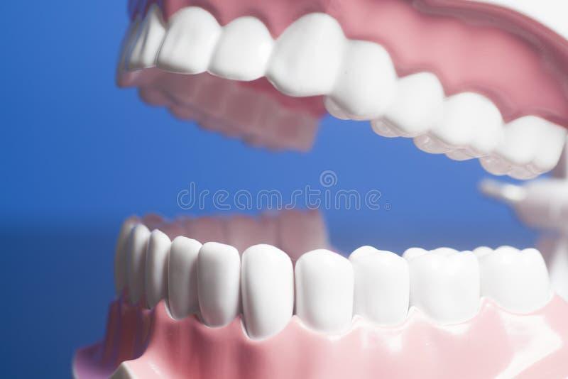 Modelo humano dental de los dientes imágenes de archivo libres de regalías