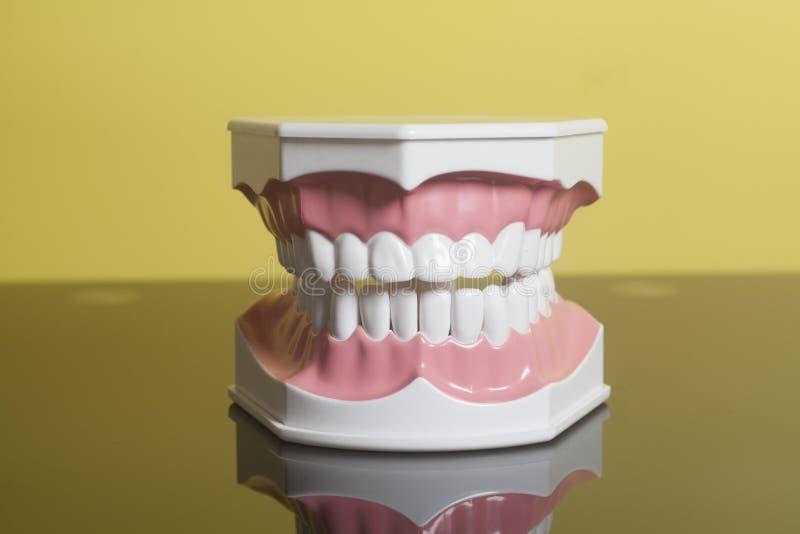 Modelo humano dental de los dientes fotografía de archivo libre de regalías