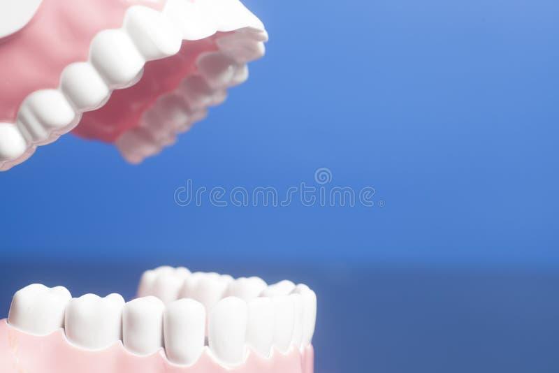 Modelo humano dental de los dientes imagen de archivo