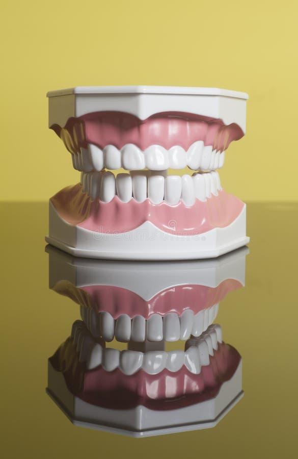 Modelo humano dental de los dientes fotografía de archivo