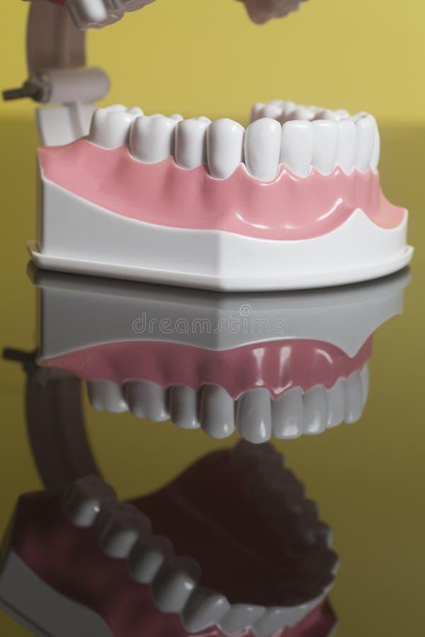 Modelo humano dental de los dientes foto de archivo