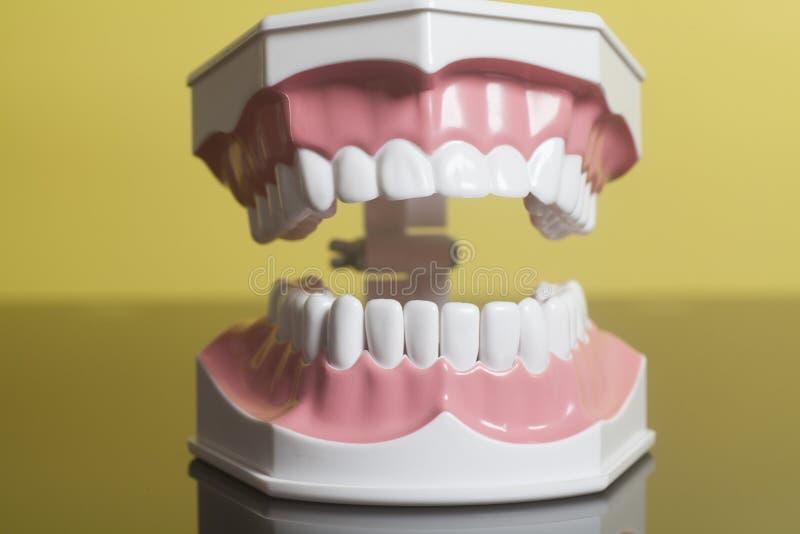 Modelo humano dental de los dientes foto de archivo libre de regalías
