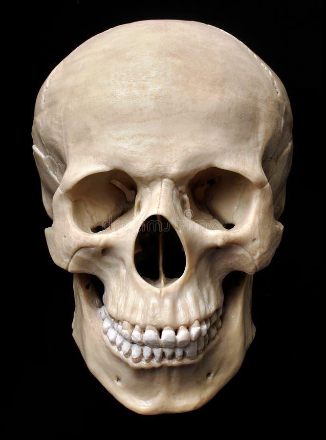 Modelo humano do crânio fotografia de stock