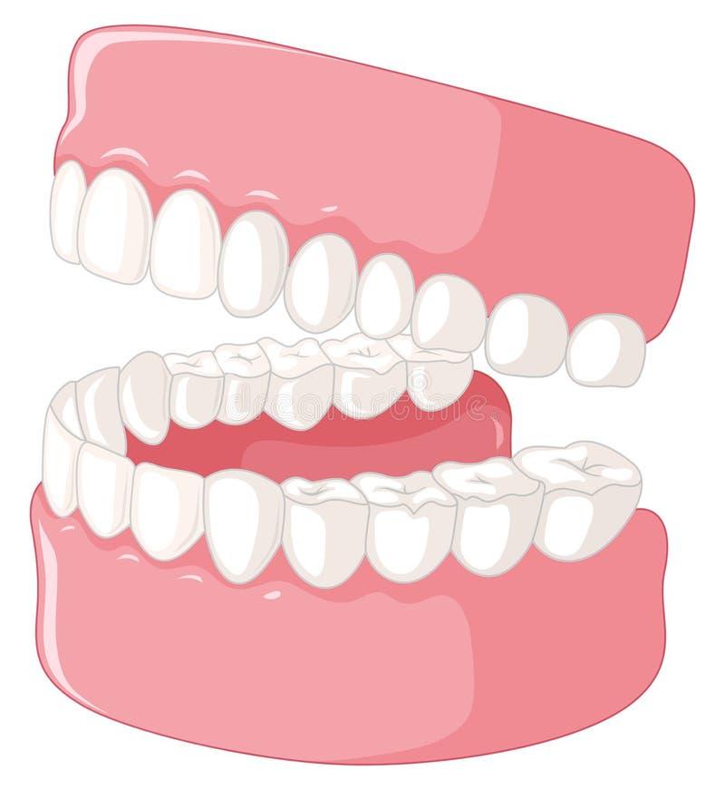 Modelo humano dos dentes no fundo branco ilustração do vetor