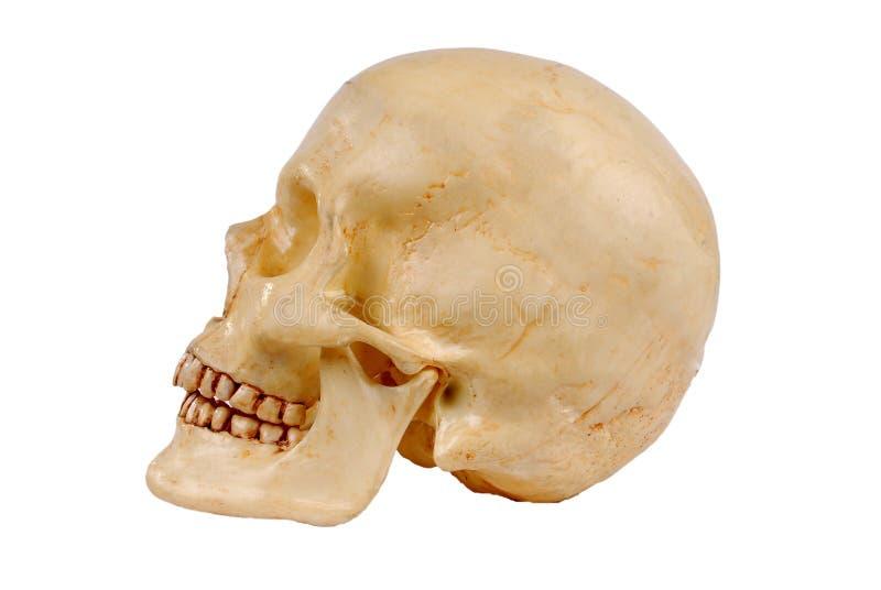 Modelo humano plástico del cráneo imagen de archivo