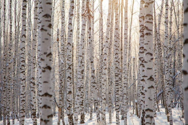 Modelo/invierno del fondo de muchos de abedul troncos de árbol foto de archivo libre de regalías