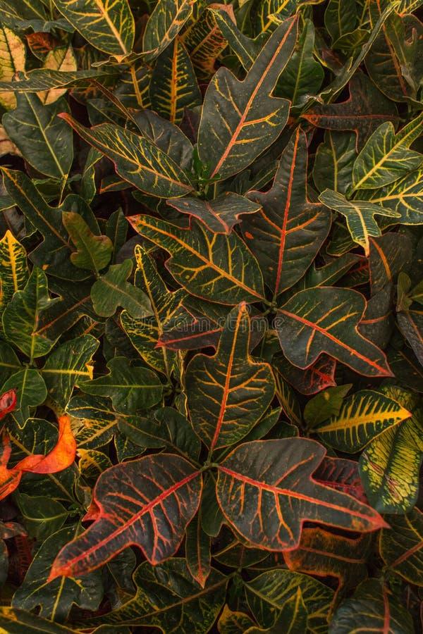 Modelo multicolor tropical de las hojas de la planta del Codiaeum fotos de archivo
