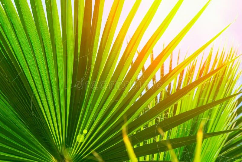 Modelo natural de las hojas de punta redondas grandes de la palmera en fondo claro de cielo azul Llamarada de oro de la luz de Su imagen de archivo libre de regalías