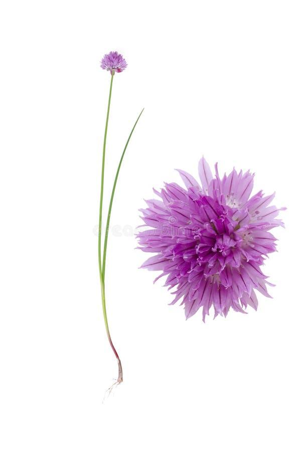 Modelo púrpura stock de ilustración