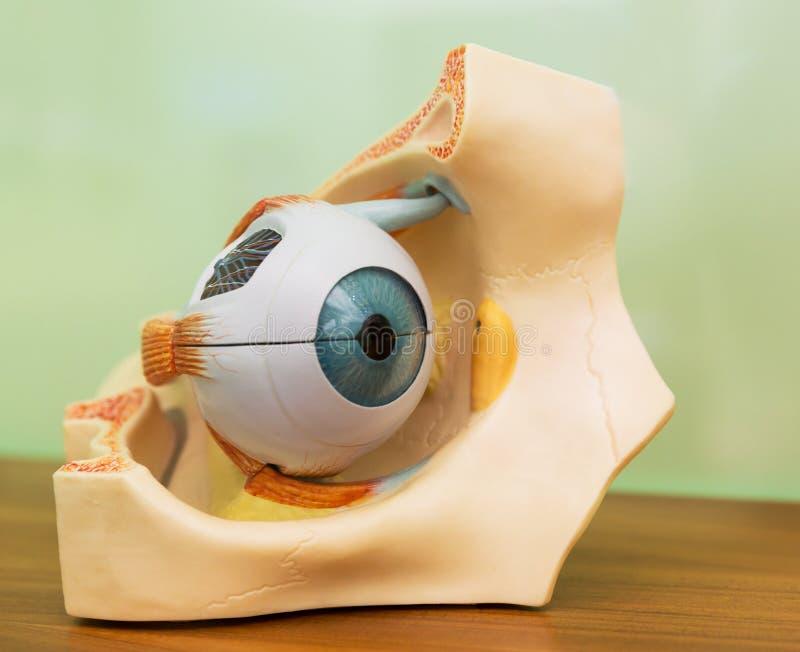 Modelo plástico anatómico del ojo humano imagen de archivo