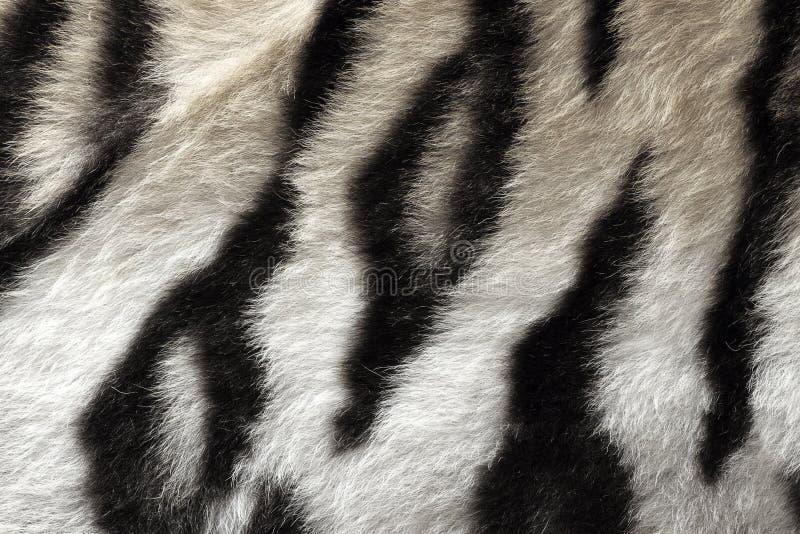 Modelo real blanco y negro de la piel del tigre imagen de archivo