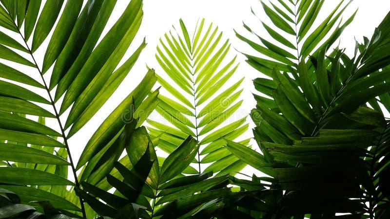 Modelo tropical de la naturaleza de las hojas de palma, planta imperecedera en el fondo blanco foto de archivo