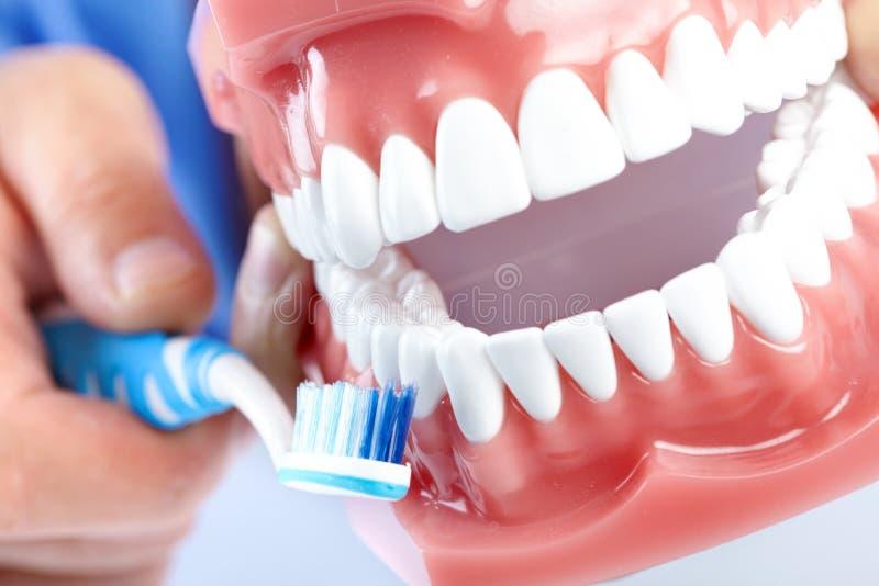 Modelo y teethbrush dentales foto de archivo