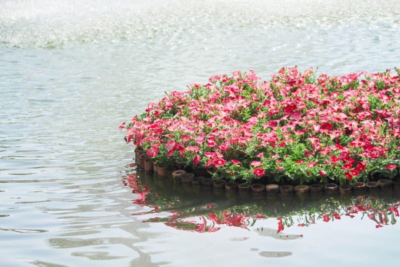 Modelos coloridos de la naturaleza de las flores rojas o rosadas de la petunia que florecen en la balsa de bambú en fondo del agu fotos de archivo