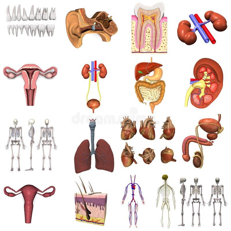 17 modelos de órganos libre illustration
