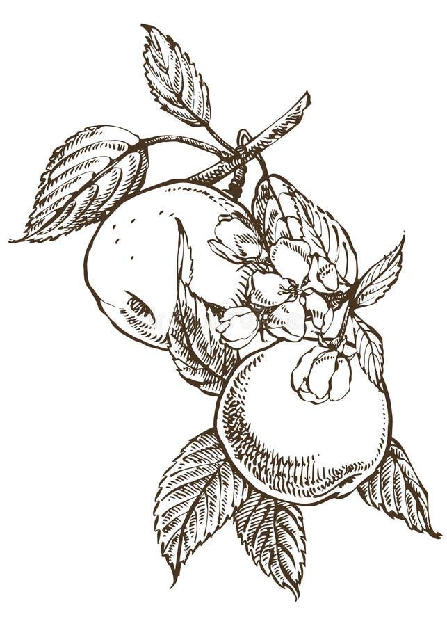 Modelos dibujados mano con el ejemplo texturizado de la manzana Ejemplo dibujado mano botánica del vintage Flores de la primavera ilustración del vector