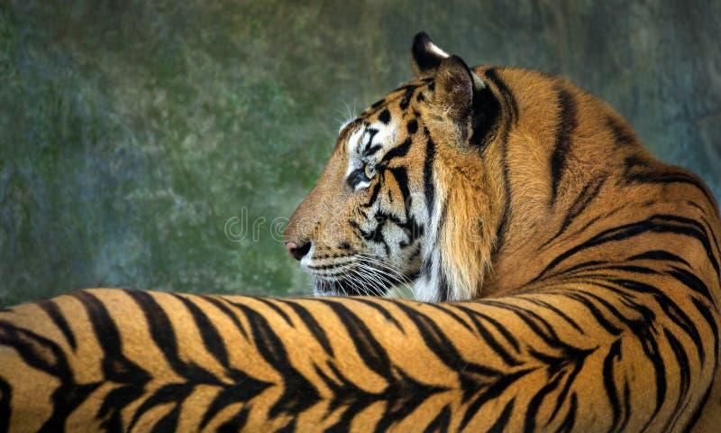 modelos y piel del tigre indochino fotografía de archivo