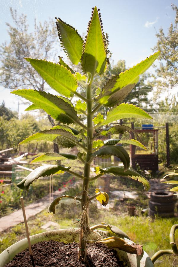Moder av tusentals, växt för mexicansk hatt, ljuskronaväxt, Kalanchoe, blad med mycket liten plantletskalanchoepinnata arkivfoto
